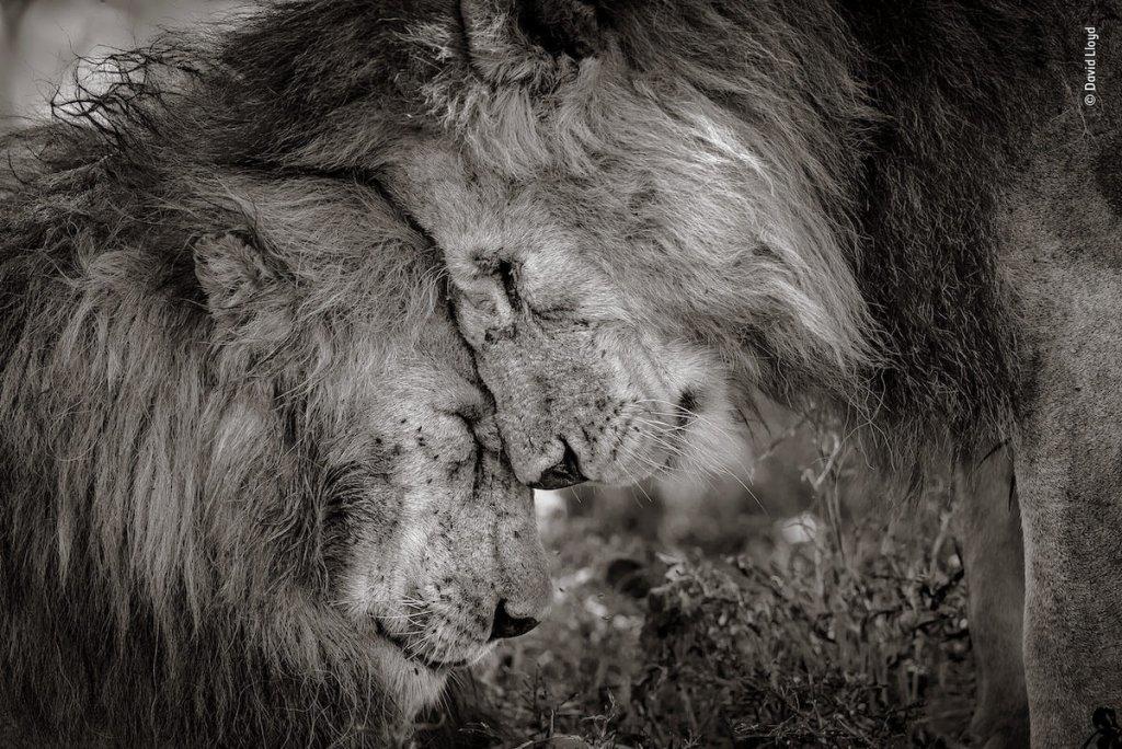 獅子野生動物自然攝影